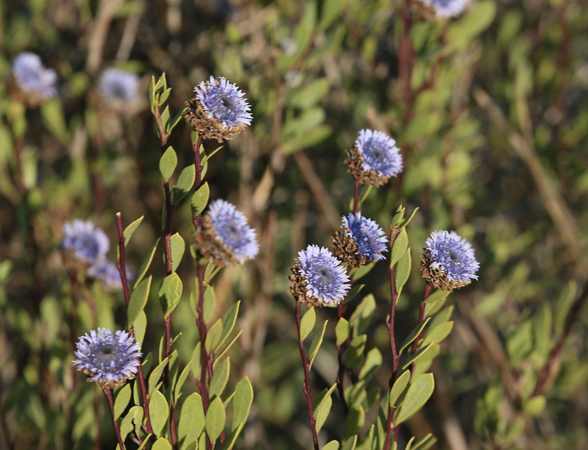 Globulaire-buissonnante-Turbith-Globularia-alypum-1