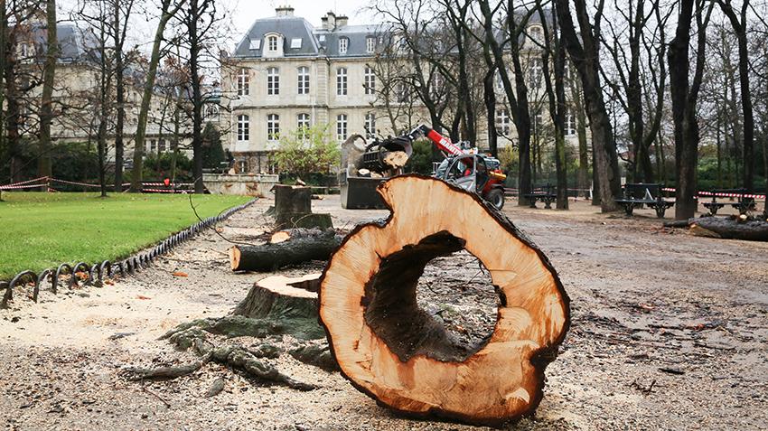 Batijournal renouvellement des arbres du jardin du for Arbres jardin du luxembourg